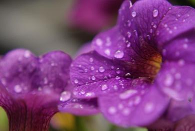 Wassertropfen Regen Tropfen Blume Petunie Balkon