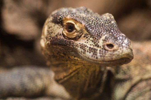 Echse, Reptil, Zoo Leipzig