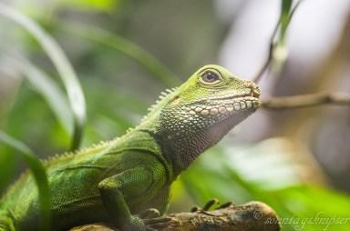 grün, Leguan, Zoo, Terrarium, Reptil