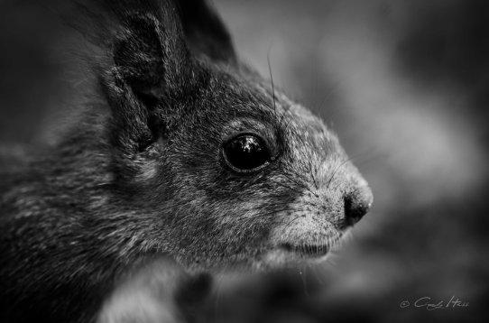 squirrel, b&w, portrait