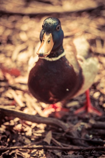 duck, cheeky