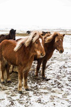 Winter, Iceland, horse