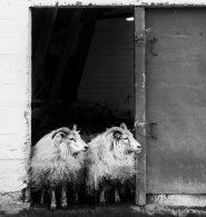 Verschlag, sheep, Iceland, Island, monochrom, b&w, Stall