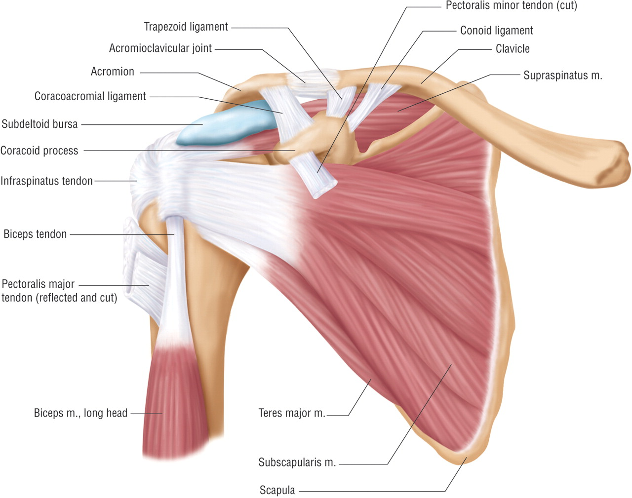 Shoulder Ligament Anatomy