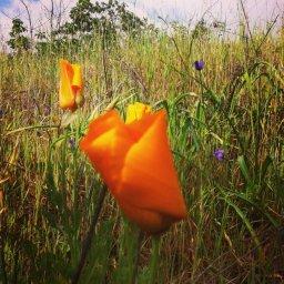 California Poppy - photo by Lisa Summers