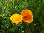 California Poppy in Spring