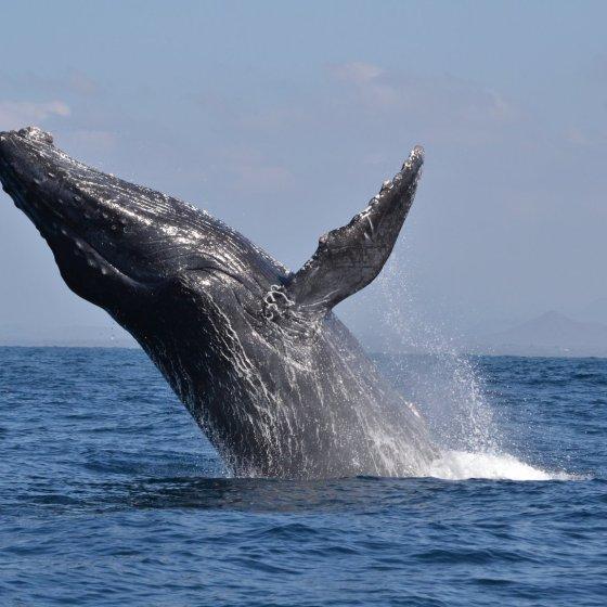 Concluye temporada de avistamientos de ballenas
