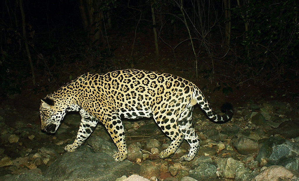 El Jaguar y otros cinco felinos transitan por la Meseta de Cacaxtla.