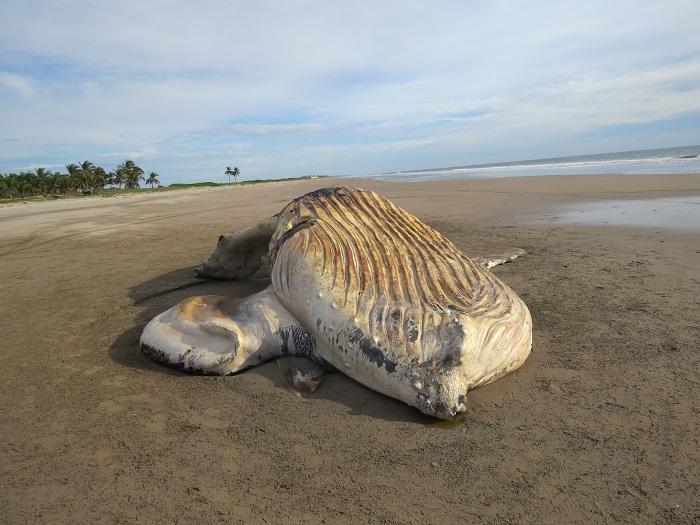 ballena-jorobada-Mazatlán