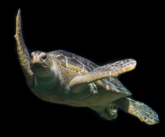 consumo-de tortuga-marina