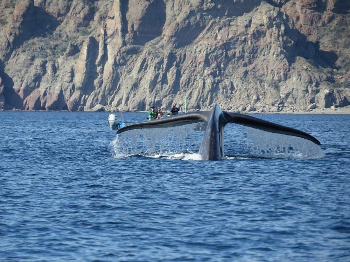 Ballena azul visita aguas mexicanas