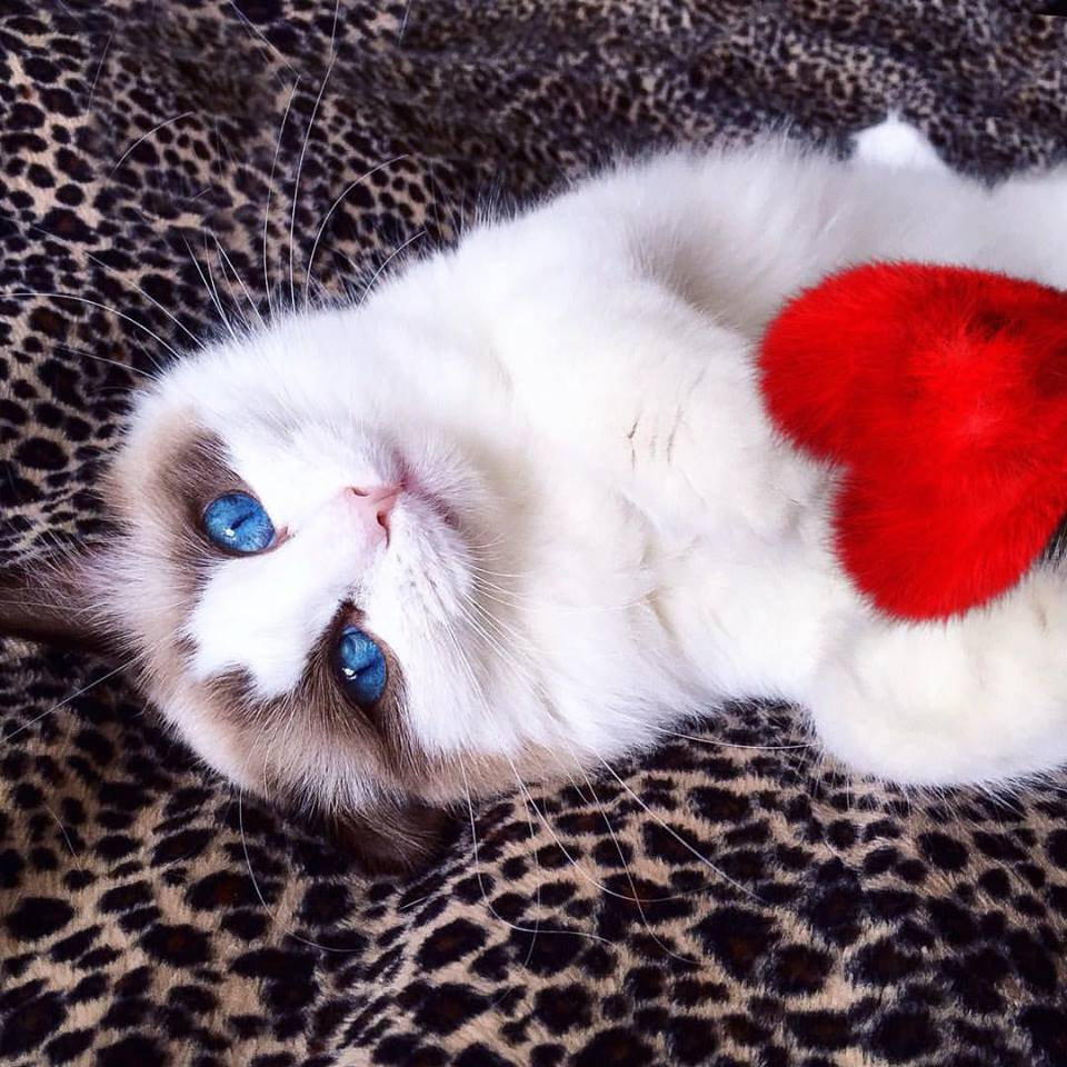 Happy Valentine's Day Cat