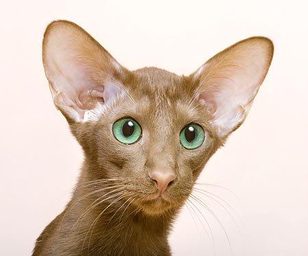 Gato limpieza orejas