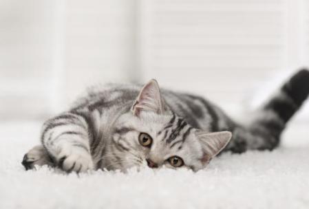 Cuando se habla de adoptar un gato se piensa en un gatito bebé. La idea de que el gato crezca junto a ti es muy romántica, pero requiere más de tu tiempo para lograr una convivencia ideal. Que conste, no digo que es imposible. Pero te ofrecemos una alternativa: adoptar un gato adulto presenta beneficios que se adaptan muy bien a tu estilo de vida.