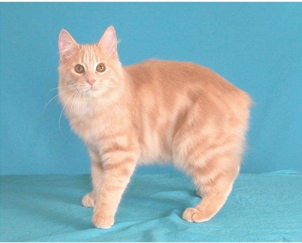Gato Manx