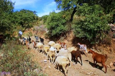 Rebaño de cabras en el camino