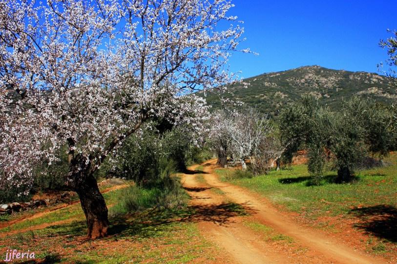 Camino entre olivos y almendro por el Cabezo Suárez