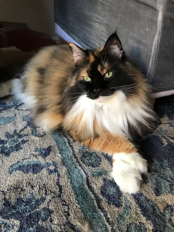 large calico cat with laying with feet crossed