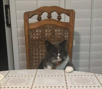 Gray and white cat sitting in a chair at the dinner table