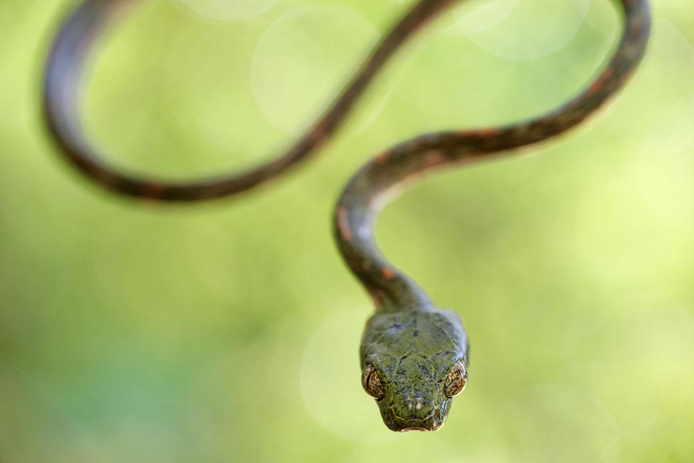 Boiga, Colubridae, Malaisie, Reptiles, Serpents, Trips