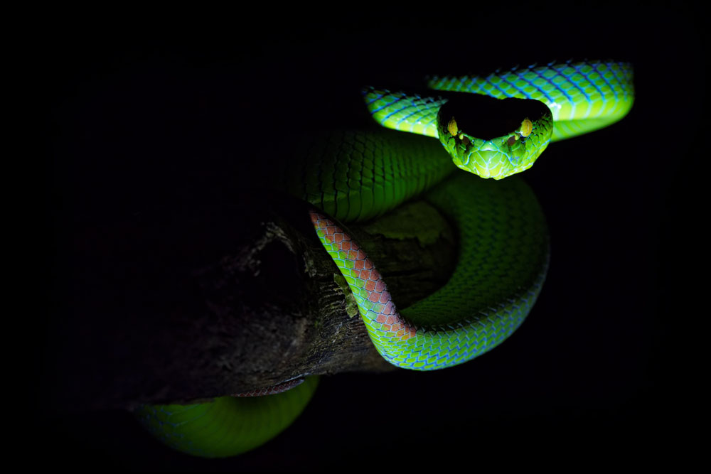 Malaisie, Reptiles, Serpents, Trimesurus, Trips, Viperidae