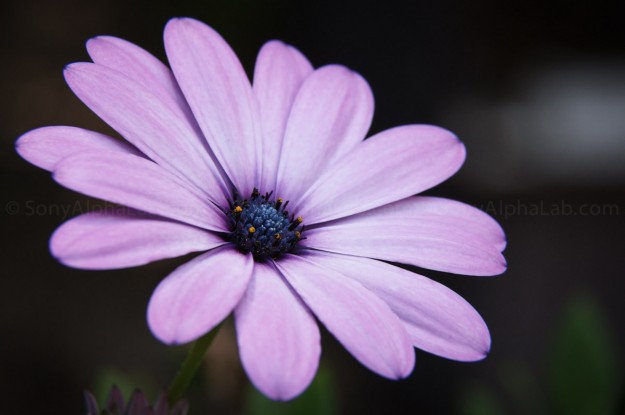 Daisy - Nex-5n w/ Fotodiox Lens Adapter, 25mm Extension Tube, and Canon 24-105mm f/4 L Lens
