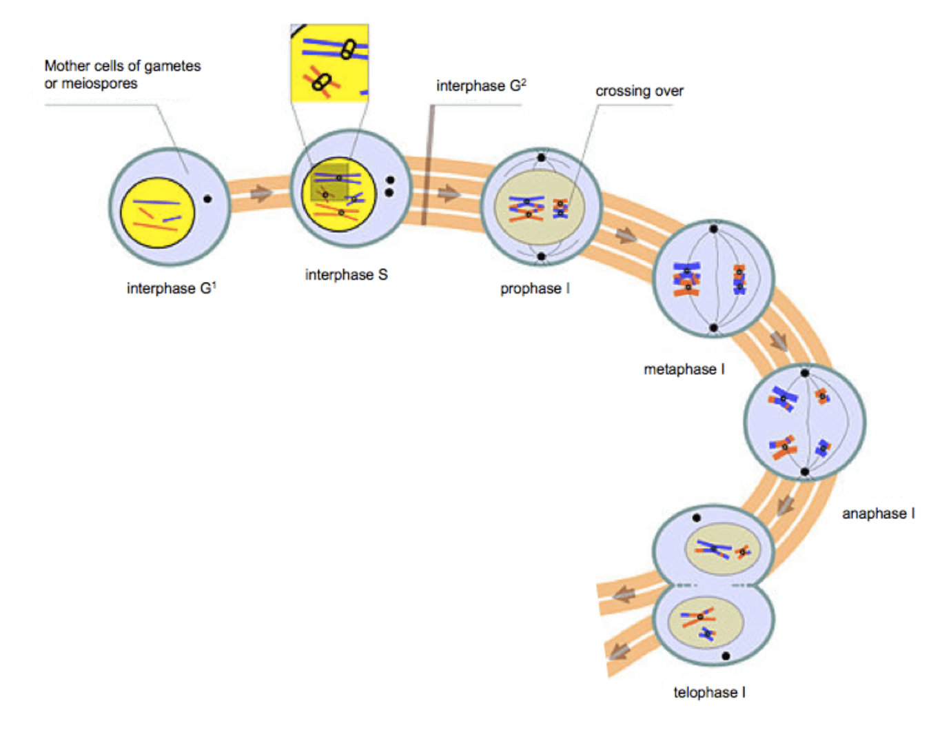 small resolution of file 9909 meiosis i png