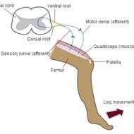 reflex arc diagram copeland scroll single phase wiring nervous system organization tutorial sophia learning