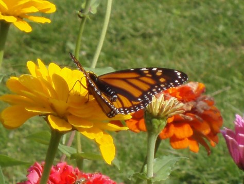 Monarch butterflies visited the flower garden at a local orchard during harvest season. Photo by Jamie Walters, 2009.