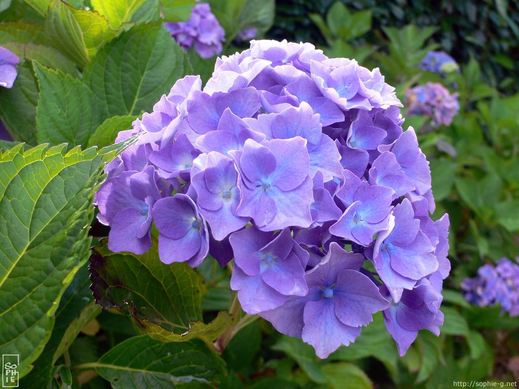 Purple Wallpaper Hd Blue Hydrangeas 1024 215 768 Desktop Wallpaper Hortensias