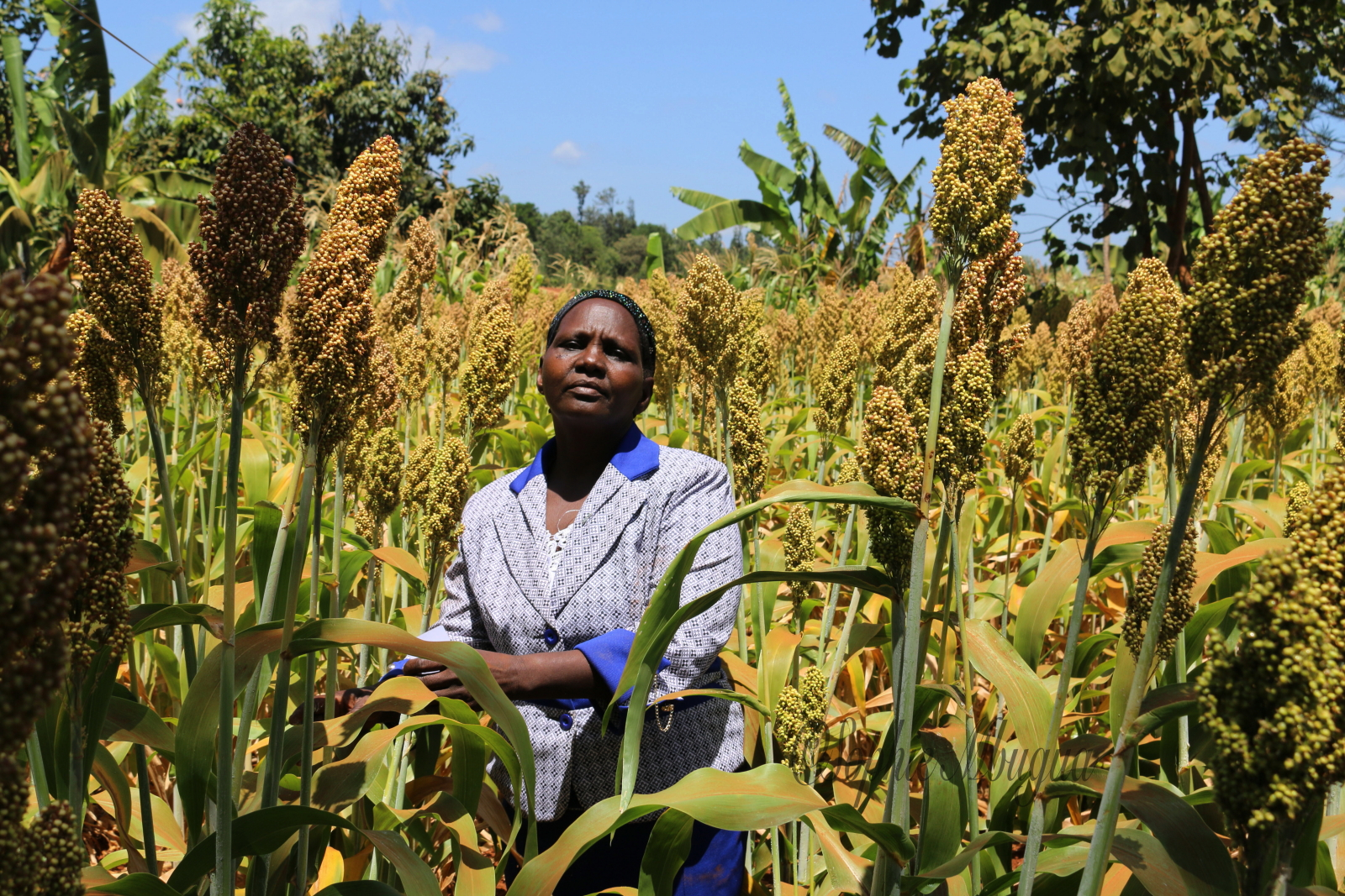 Climate Change and Sorghum