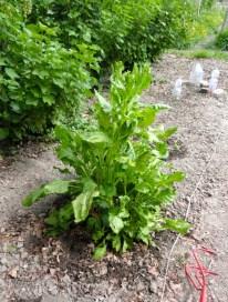 White chard plants!