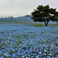 Nemophilas, Nemophilas, Nemophilas Everywhere at Hitachi Seaside Park