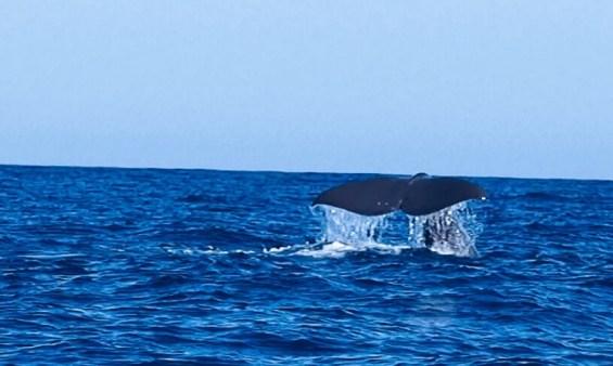 mediterranée-sanary-aventure-marine-dauphins-baleine-cachalot
