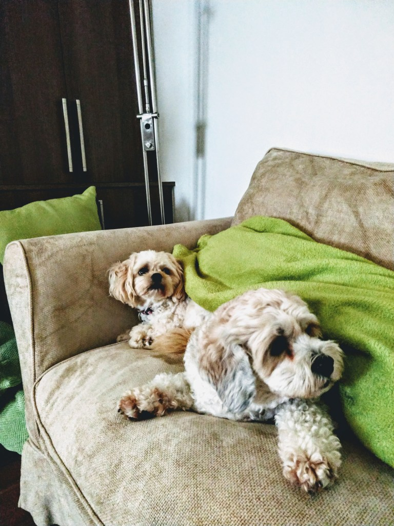 two white cavishon dogs named echo and millie. Sitting on a beige couch under a green blanket.