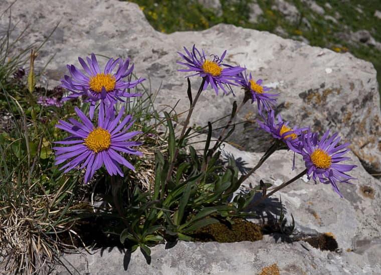 Как выглядит рассада астры альпийской. Посадка семян многолетней альпийской астры