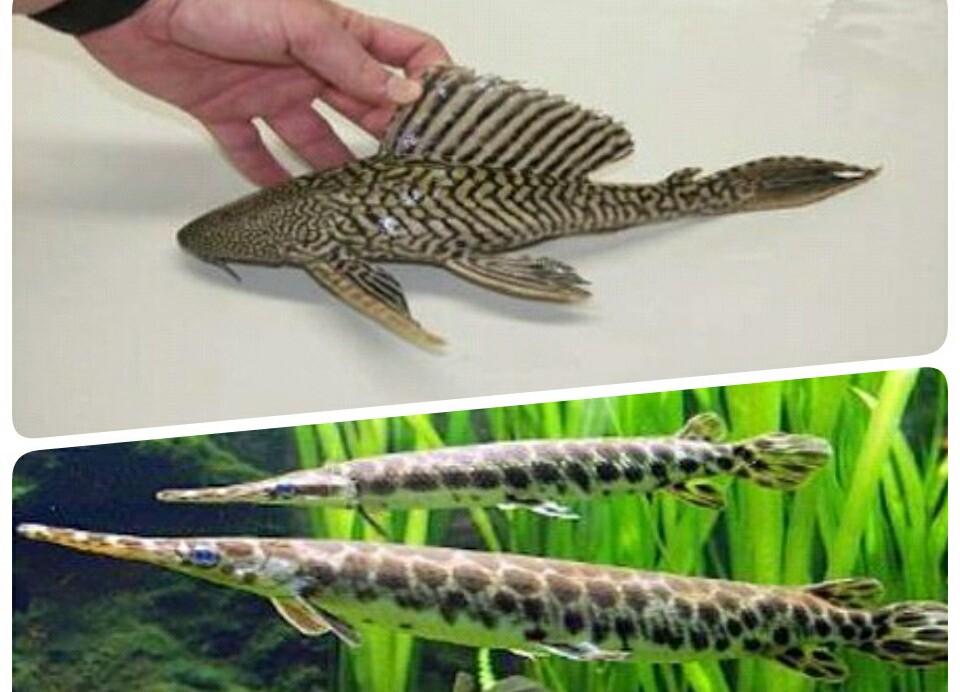 Ternyata Ikan Sapu sapu dan ikan Aligator Dilarang di Indonesia