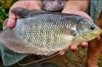 TBC ikan gurame