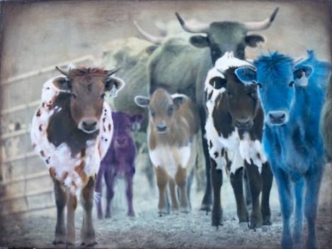 Cattle Call 10a_Gummersall