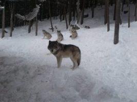Parc Omega, loup, animaux, nature