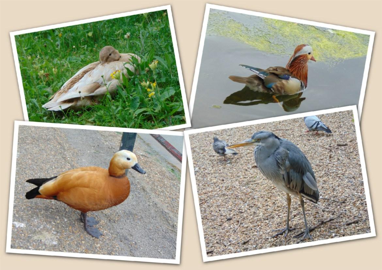 Diverse Wasservögel im St. James Park
