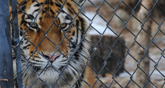 Tiger in cage. Safe boundaries.