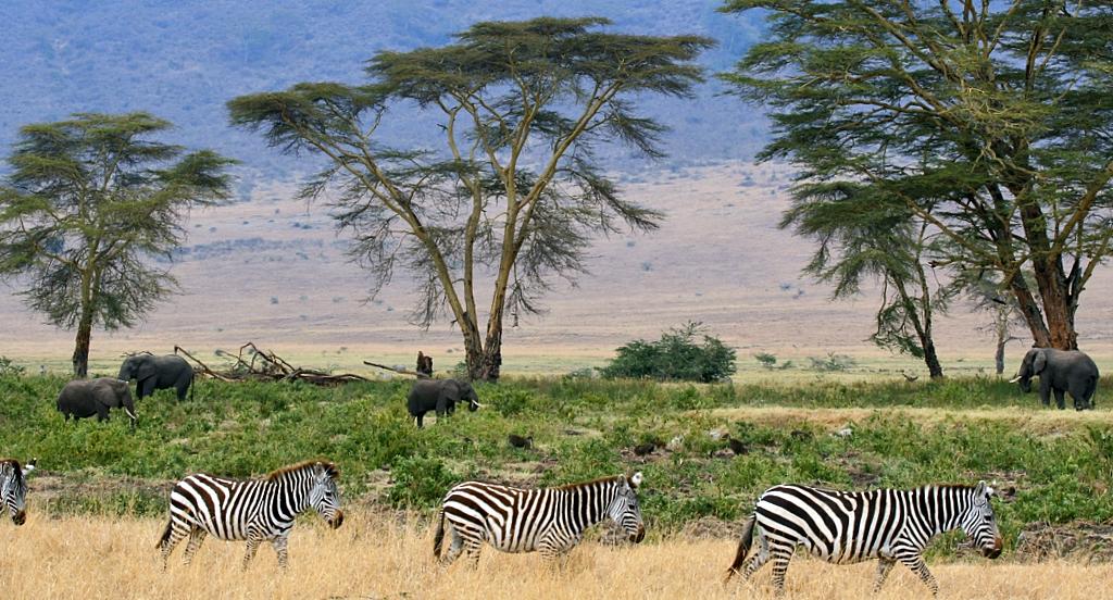 Zebras2C_Serengeti_savana_plains2C_Tanzania