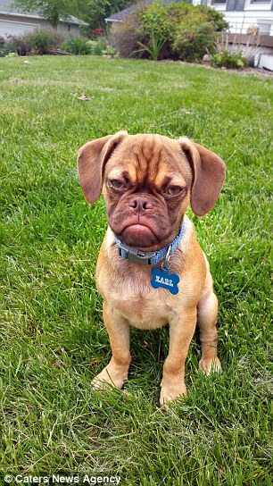 2AE6500000000578-3177113-The_five_month_old_dog_has_a_permanent_scowl_etched_on_his_face_-a-5_1438079918040