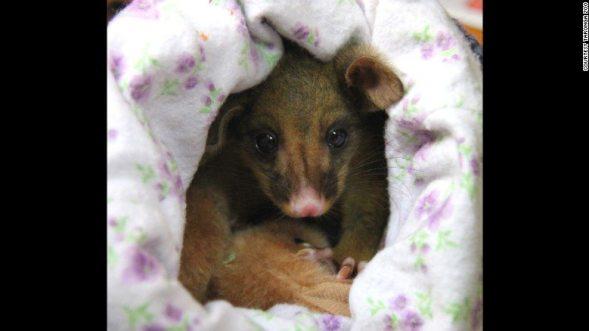 151006185103-04-brushtail-possum-photo-by-paul-fahy-3-exlarge-169