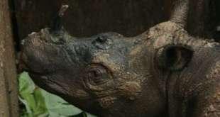 Sumatran Rhinoceros Dies Weeks After Landmark Discovery