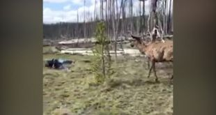 Elk Charges at Woman Trying to Take Its Picture in Yellowstone National Park