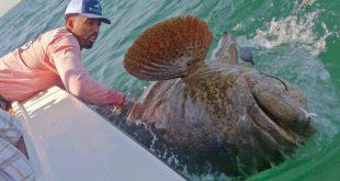 Denver Nuggets' Wilson Chandler Catches Massive 350-Pound Grouper
