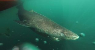 New Study Finds Greenland Shark Could Live for More Than 250 Years