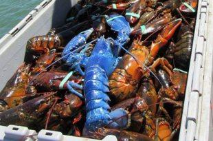 Man Catches Rare Bright Blue Lobster off Cape Cod Coast